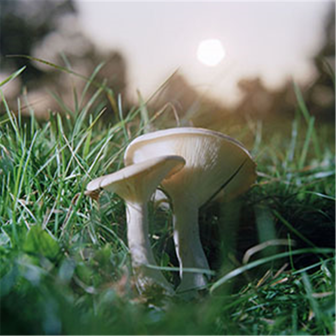 Mushrooms in a field Funnel Cap Clitocybe photo by Roy Mehta