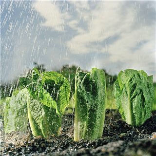 Lettuce in an allotment with rain photo by Roy Mehta