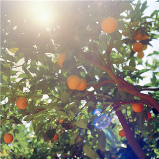 Orange tree in an orchard in Greece photo by Roy Mehta