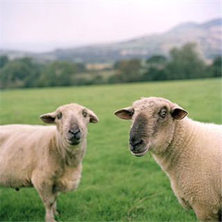 Two sheep in a field Photo by Roy Mehta